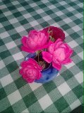 jersey roses
